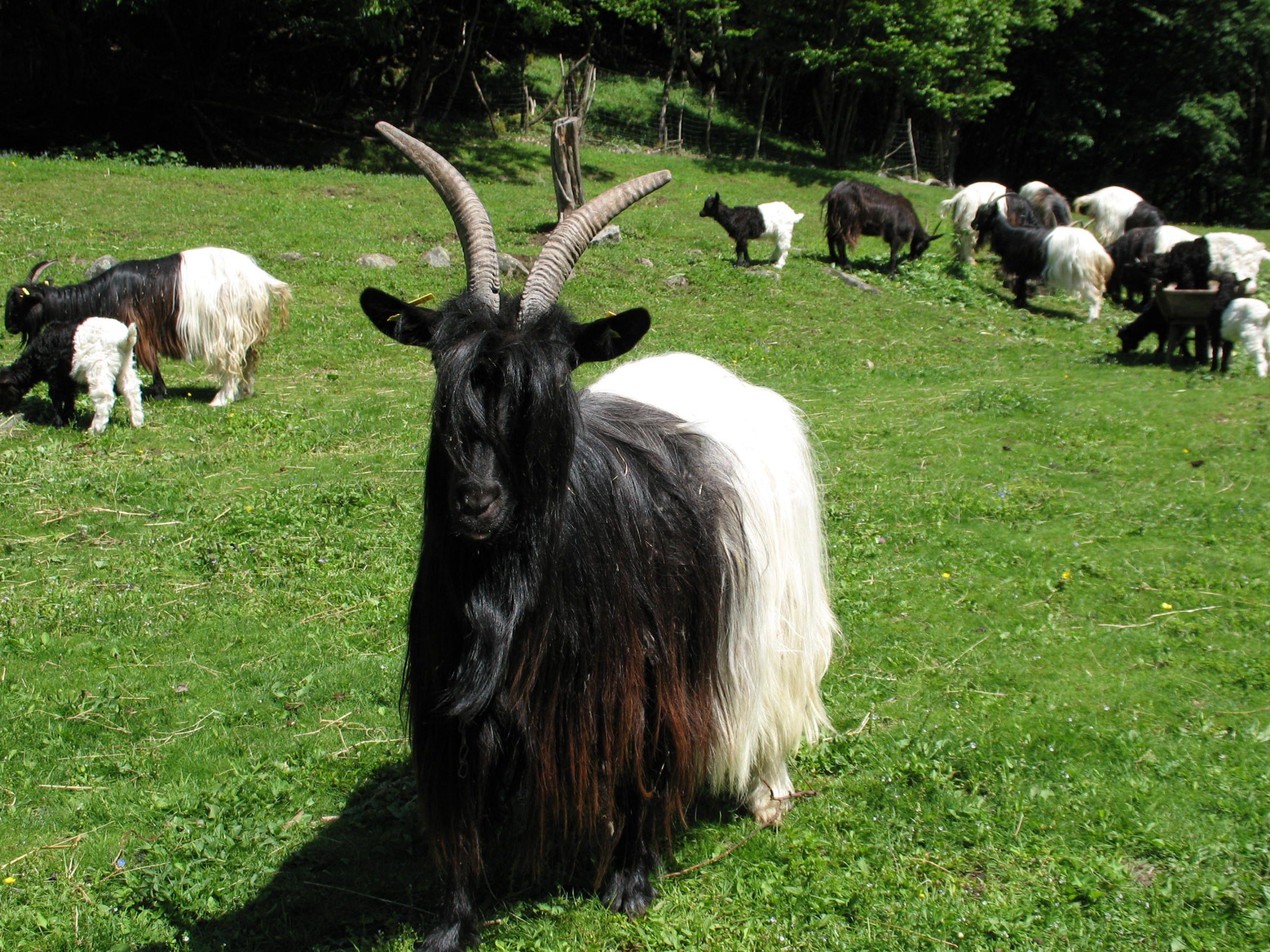 Resultado de imagem para cabras Blackneck Valais
