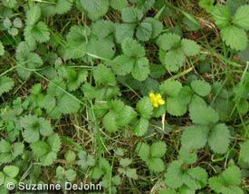 Find This Pin And More On Weeds Like Cinquefoil Also Has Yellow Flowers