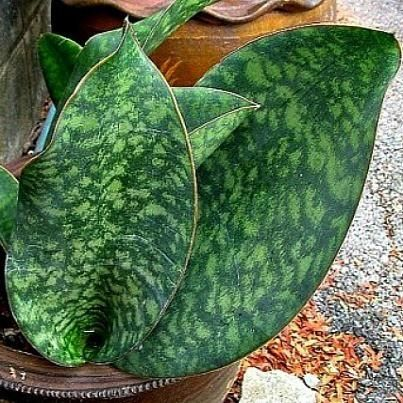 whale fin snake plant