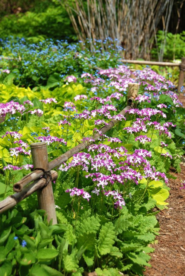 Light Pink Primula Sieboldii Golden Miniature Hosta And Blue Flowering Brunnera Filled These