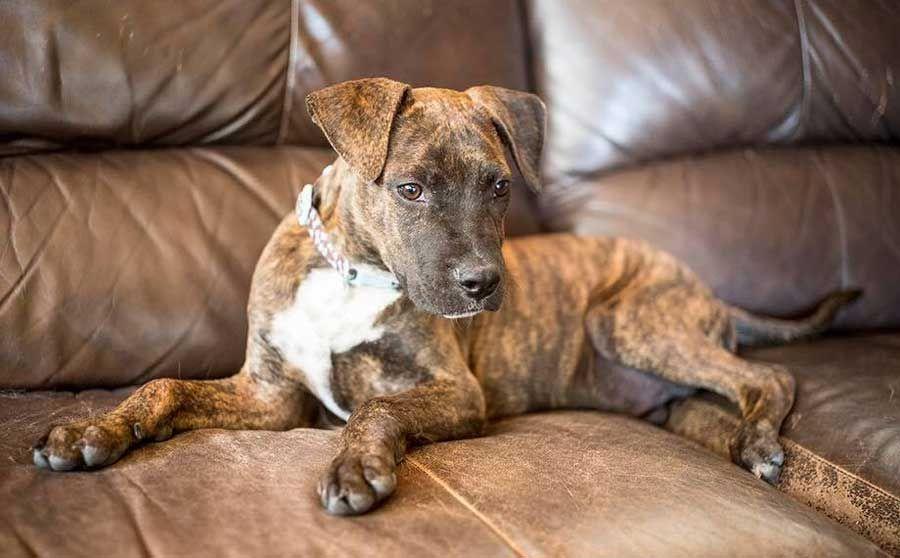 Oscar The Labrador Boxer Mix Boxer Mix Dog Training Obedience Brindle Boxer