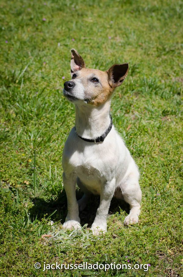Lily Rae, Adoptable Jack Russell Terrier Jack