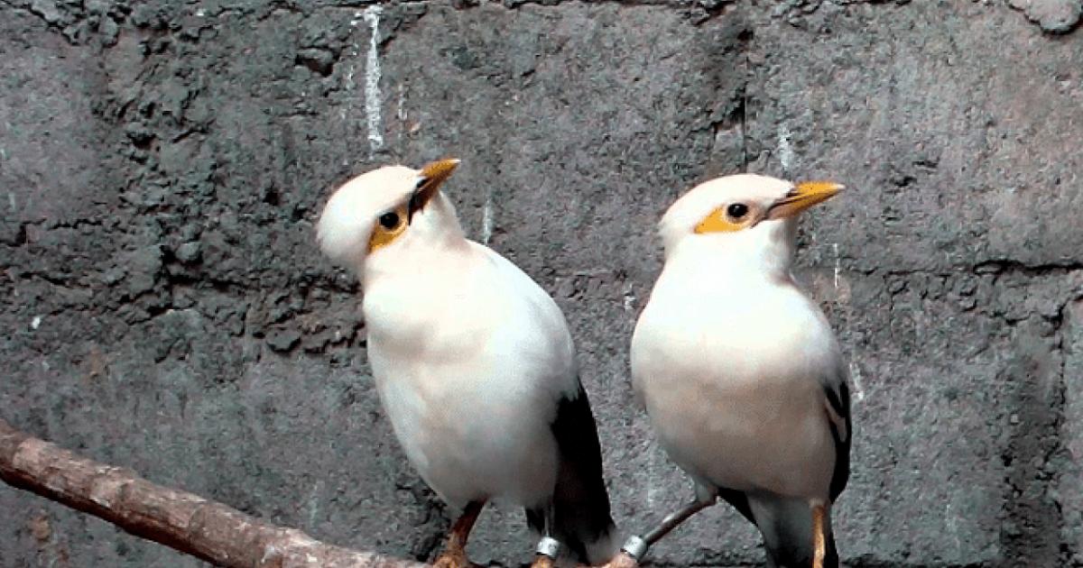 Paling Bagus 11 Gambar Burung Jalak Putih 10 Cara Mengetahui Jalak Putih Palsu Arenahewan Com Burung Berkicau Fakta Burung Jalak Putih M Di 2020 Burung Jalak Gambar