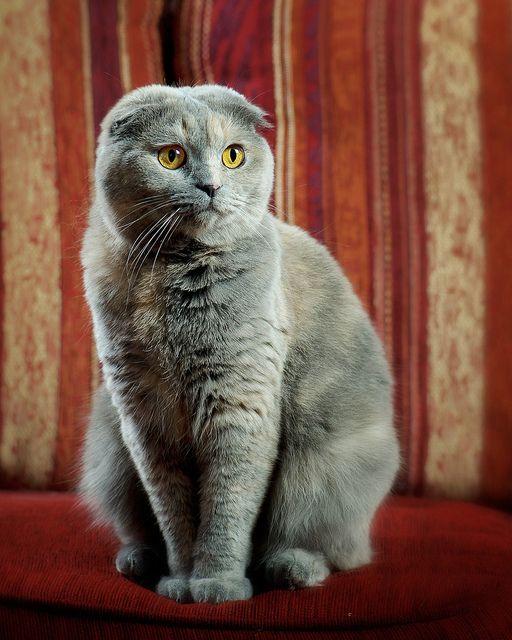 Scottish Fold y mezcla de azul ruso. El gato perfecto! precioso!