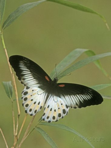 Swallowtail Butterfly Papilio Polymnestor India Photographic