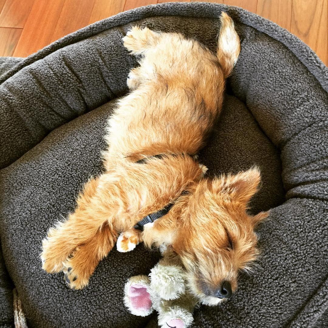 Norwich Terrier @winslowinthecity on Instagram   Norwich ...