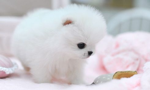teacup white Pomeranian puppy love you are beautiful child ...