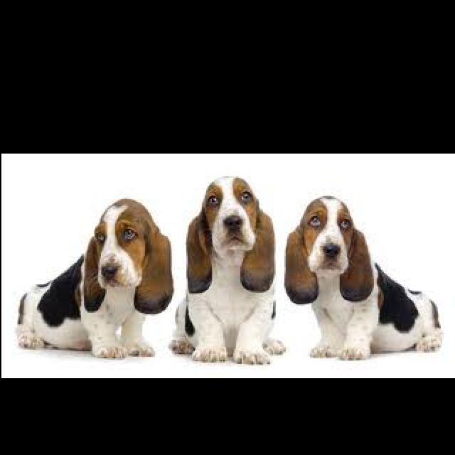 Basset Hounds (With images) Basset hound puppy, Basset