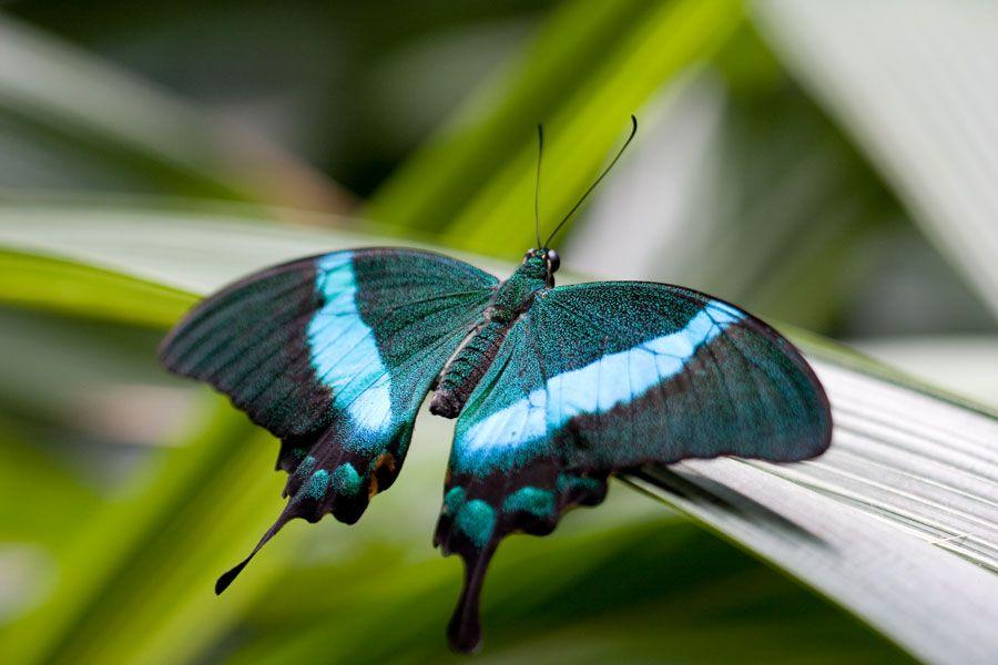 Blau Schwarzer Schmetterling Schwarzer Schmetterling Schmetterling Blau