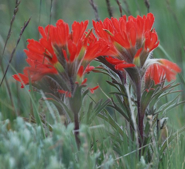 Wyo State flower - Indian Paint Brush.