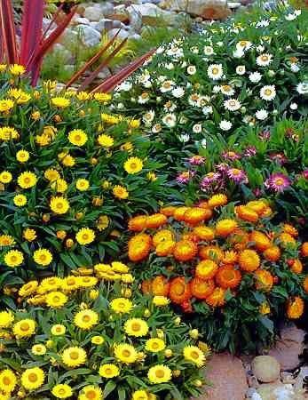 Immortelles Helichyrum Bractateum Balcony Plants Perfect