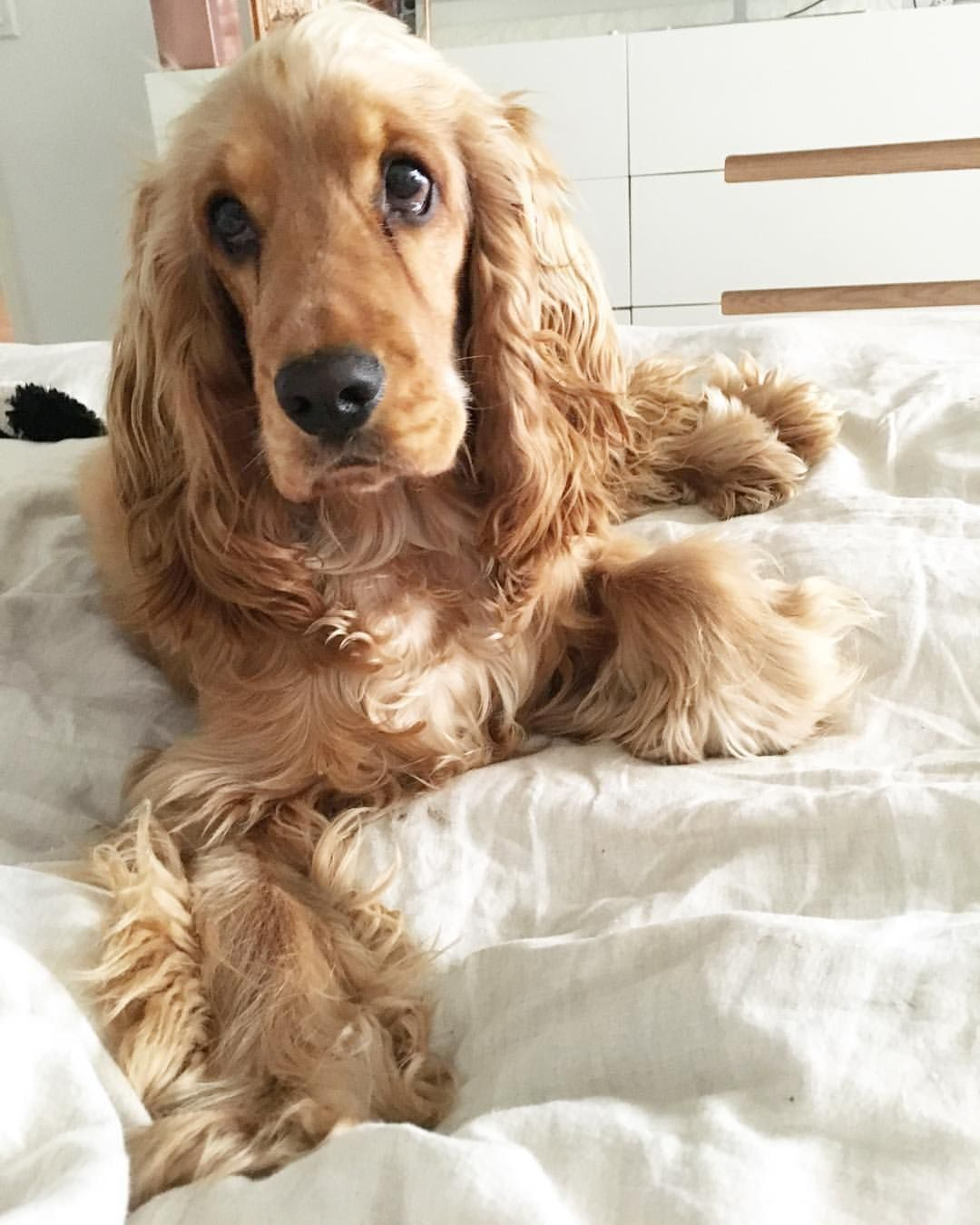Mi Piace 440 Commenti 5 Boston English Cocker Boston Cocker Su Instagram Can We Pleeeeease Stay In Bed Spaniel Puppies Dogs English Cocker