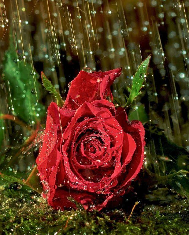 Google Profiles Red Roses Rose Wallpaper Beautiful Flowers Wallpapers