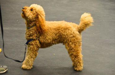 Miniature Goldendoodle Dog Training Dog Training Tips Your Dog