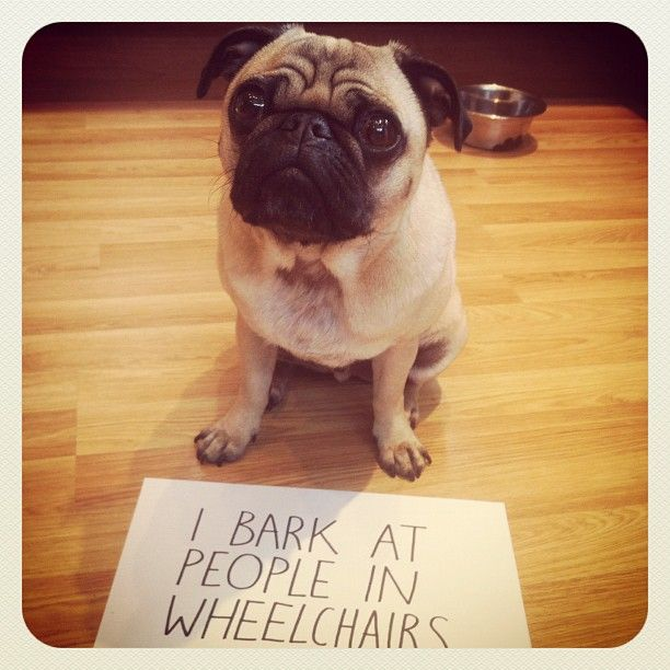 Pug Shaming Google Search Pugs Funny Pugs Cute Pug Pictures