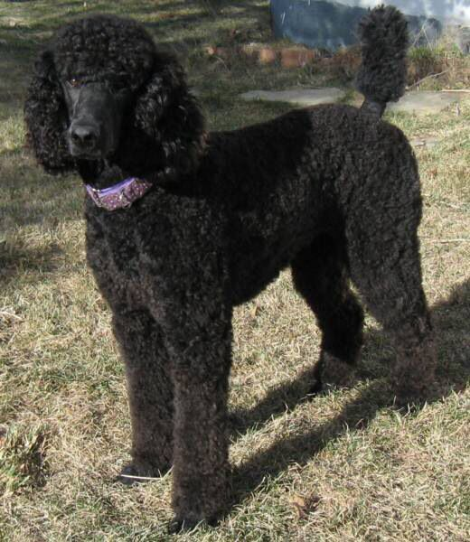 Black Standard Poodle Standard Poodle Haircuts Black Standard