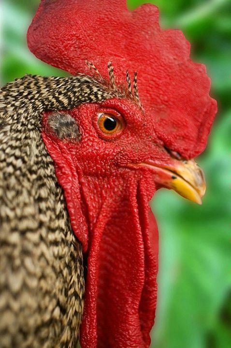 Rooster Guajolotes Y Gallos Pinterest Aves Aves Hermosas Y