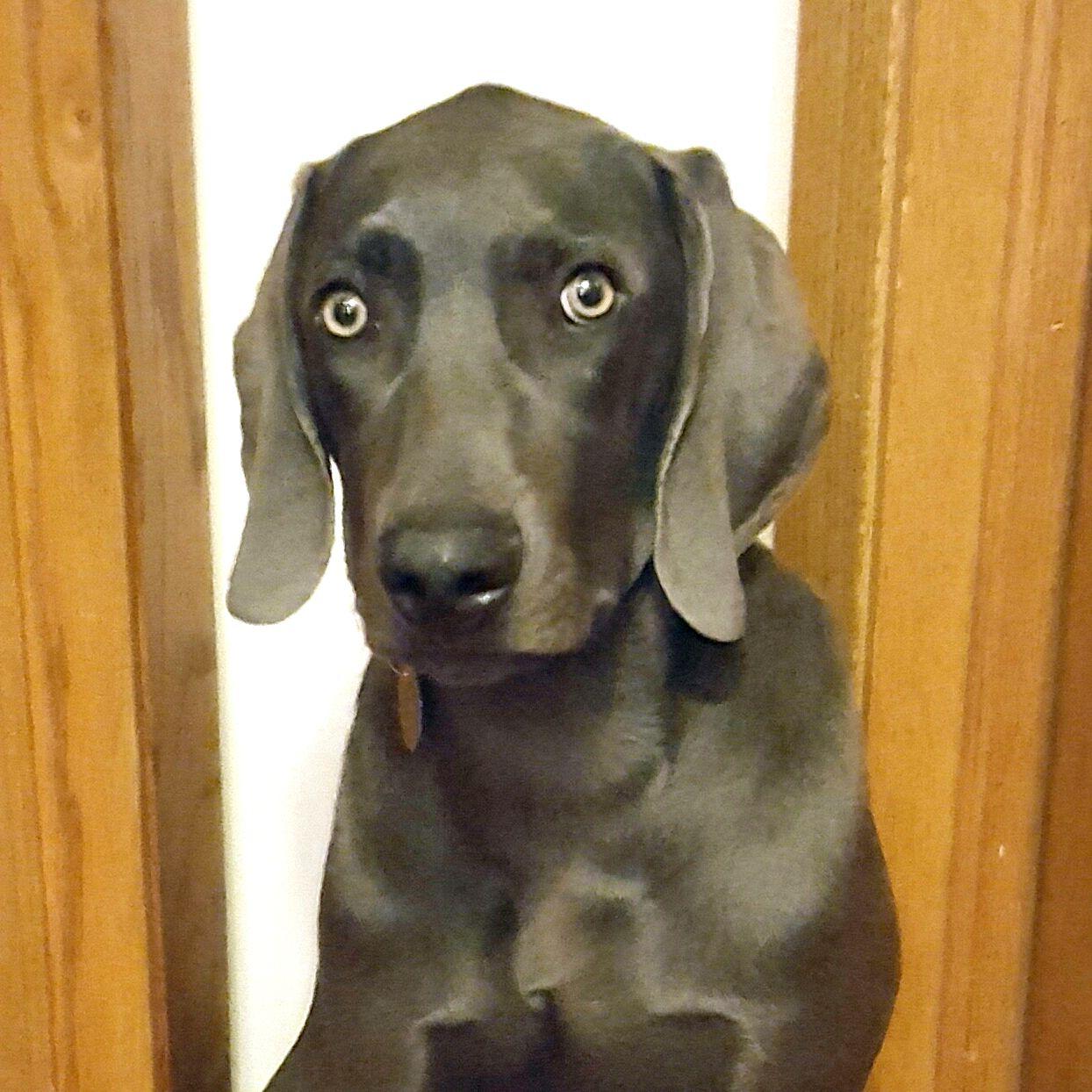 Weimaraner dog for Adoption in St. Louis Park, MN. ADN
