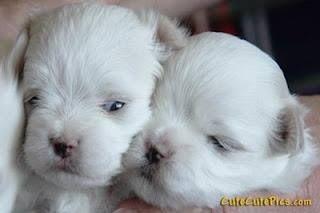 Maltese Newborn Puppies Maltese Puppy Newborn Puppies Puppies