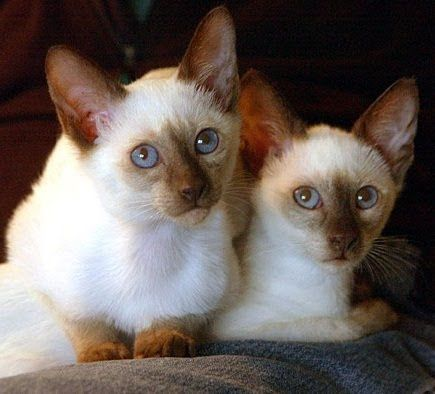 Siamese Grey Cat Breeds Siamese Cats Grumpy Cat Christmas