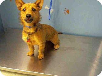 Houston Tx Norwich Terrier Dachshund Mix Meet Hazel A Dog For
