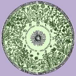 Linnaeus knew the rhythms of many flowers so well that he was able to construct a flower clock. Many species open and close at fixed times. By planting these in the right order in a circle according to their opening or closing time you can make a clock that shows the exact time.