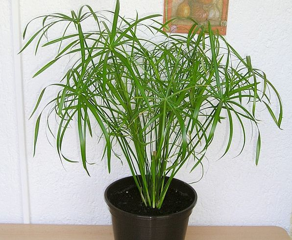 papyrus d appartement cyperus alternifolius gardenz garden plants et room goals. Black Bedroom Furniture Sets. Home Design Ideas