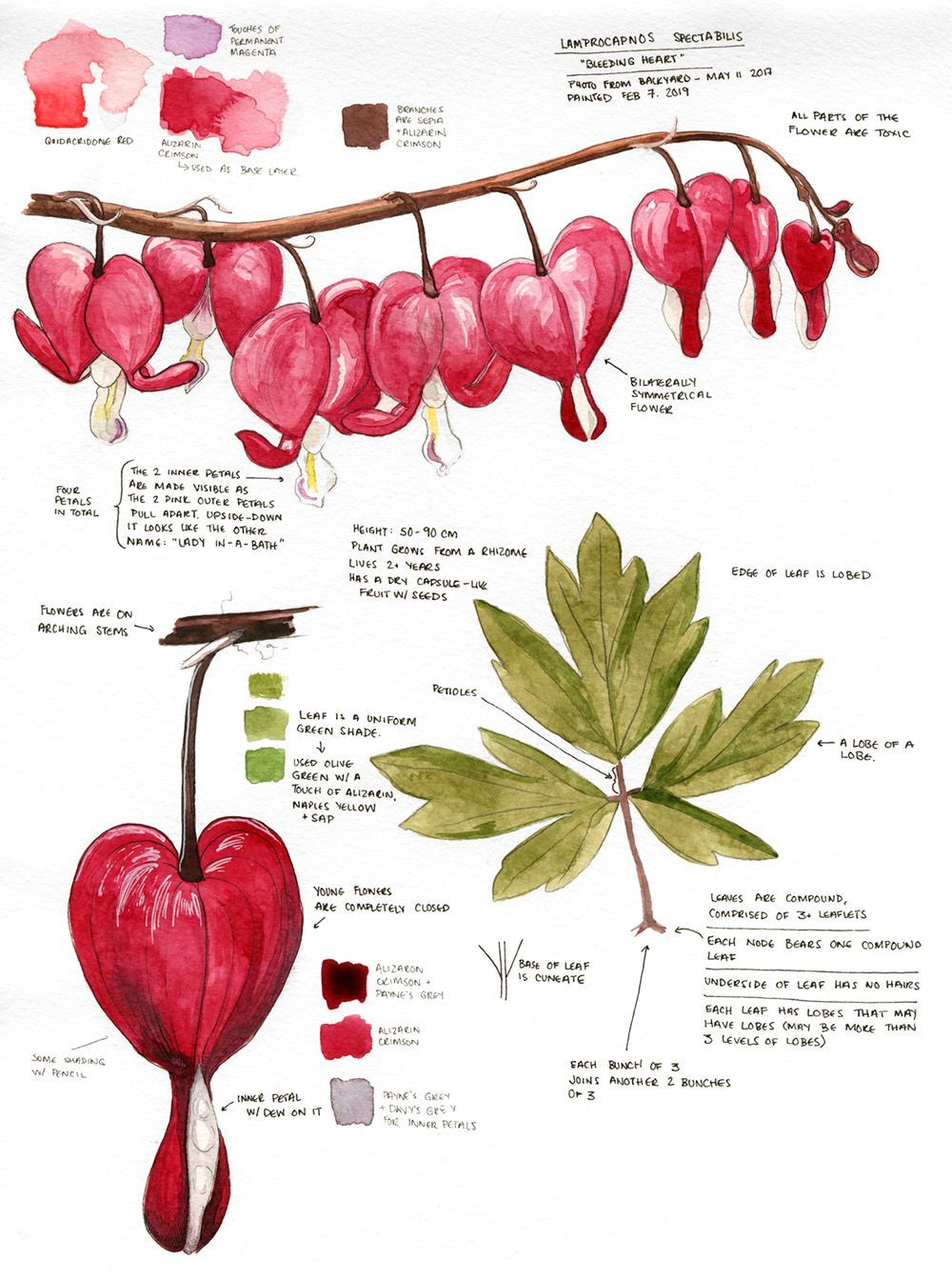 Botanical Sketchbook Bleeding Heart Lamprocapnos Spectabilis In 2020 Botanical Sketchbook Bleeding Heart Sketch Book