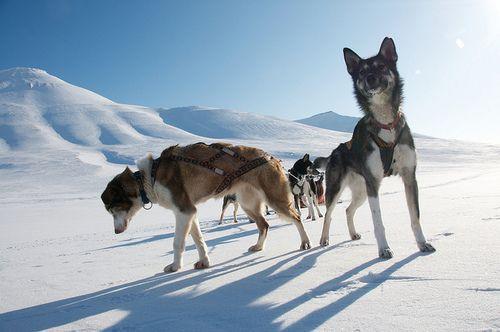 feliscanis:  Svalbard sled dogs byfruchtzwerg's world