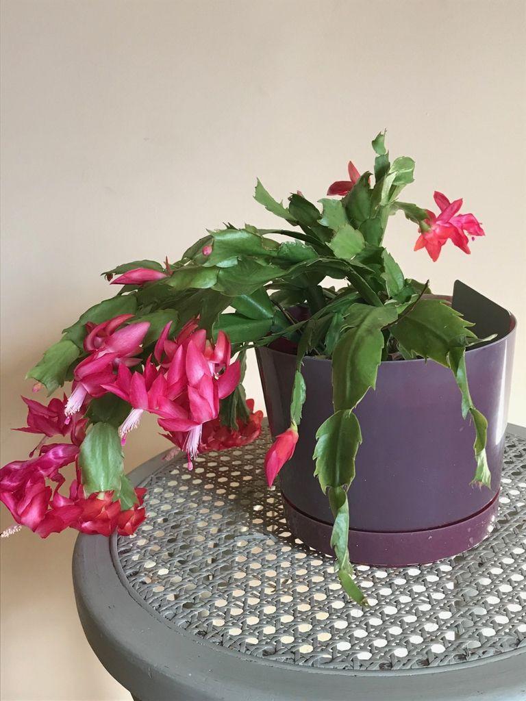 Schlumbergera russelliana (also called Christmas Cactus