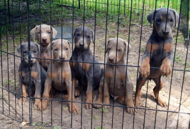 Akc Blue And Fawn Doberman Pups Doberman Puppies For Sale