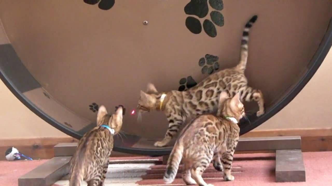 Kittens On The Cat Wheel Chasing Laser Pointer Catwheel Bengals Kittens Bengal Cat Bengal Kitten Cat Gif