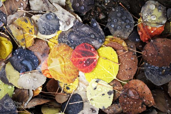"Multicolored Aspen Leaves on Colorado Trail (16"" x 24"" photograph)"