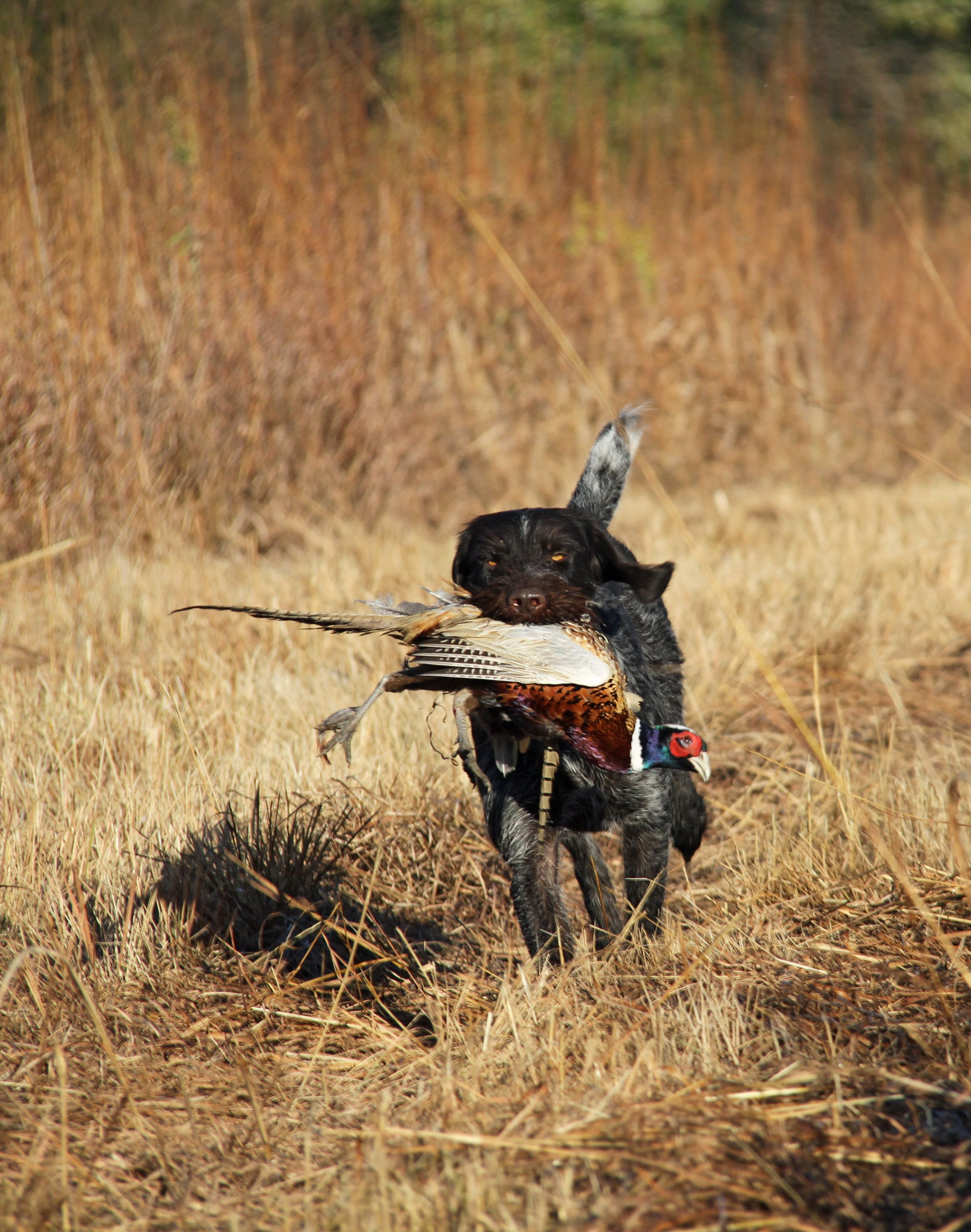 Bird Dog Training More Info Could Be Found At The Image Url