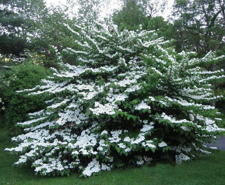 A Large Prague Viburnum Tree In My Backyard