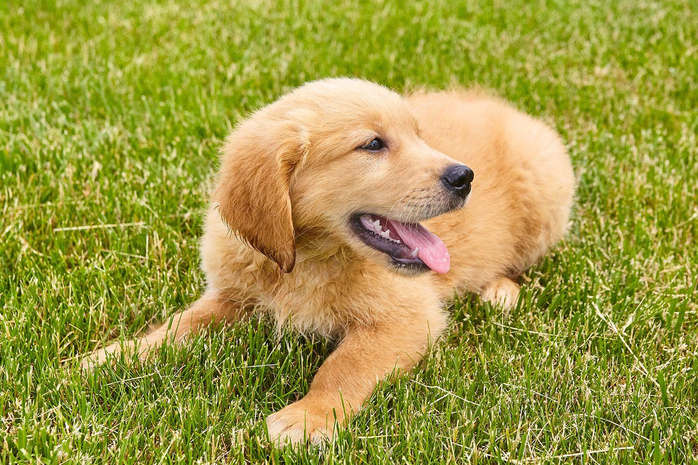 Still looking for a darker AKC male Golden Retriever puppy