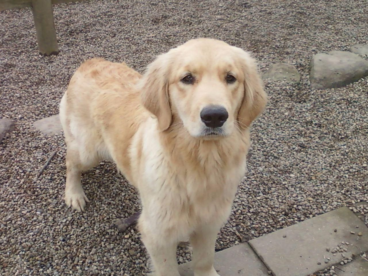 As a hobby breeder of this line of Golden Retrievers for