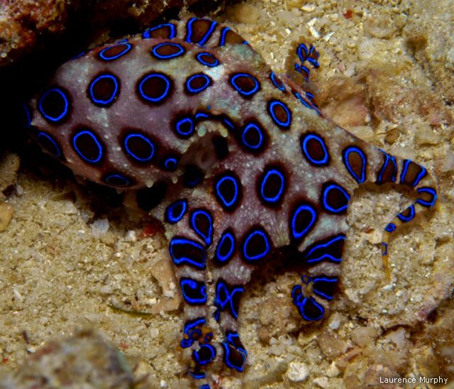 Blue Ringed Octopus is deadly poisonous to humans, a single bite ...