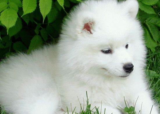 Polar Bear Puppy I Didnt Even Know There Was Such A Breed