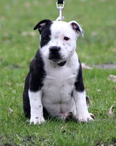 short legged staffy Google Search Pitbull terrier