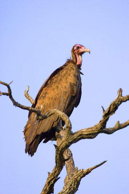 A hooded vulture takes a rest...