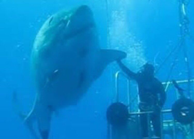 Swimming with a big ass great white!! Do you have the balls to do this?!?!  tag a friend who would do this (Credit:Unknown) #anglerapproved #angler  #amazing ...