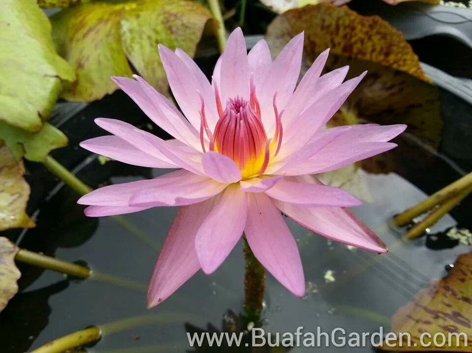 New breed no name lotus flowers pinterest lotus flowers and new breed no name mightylinksfo