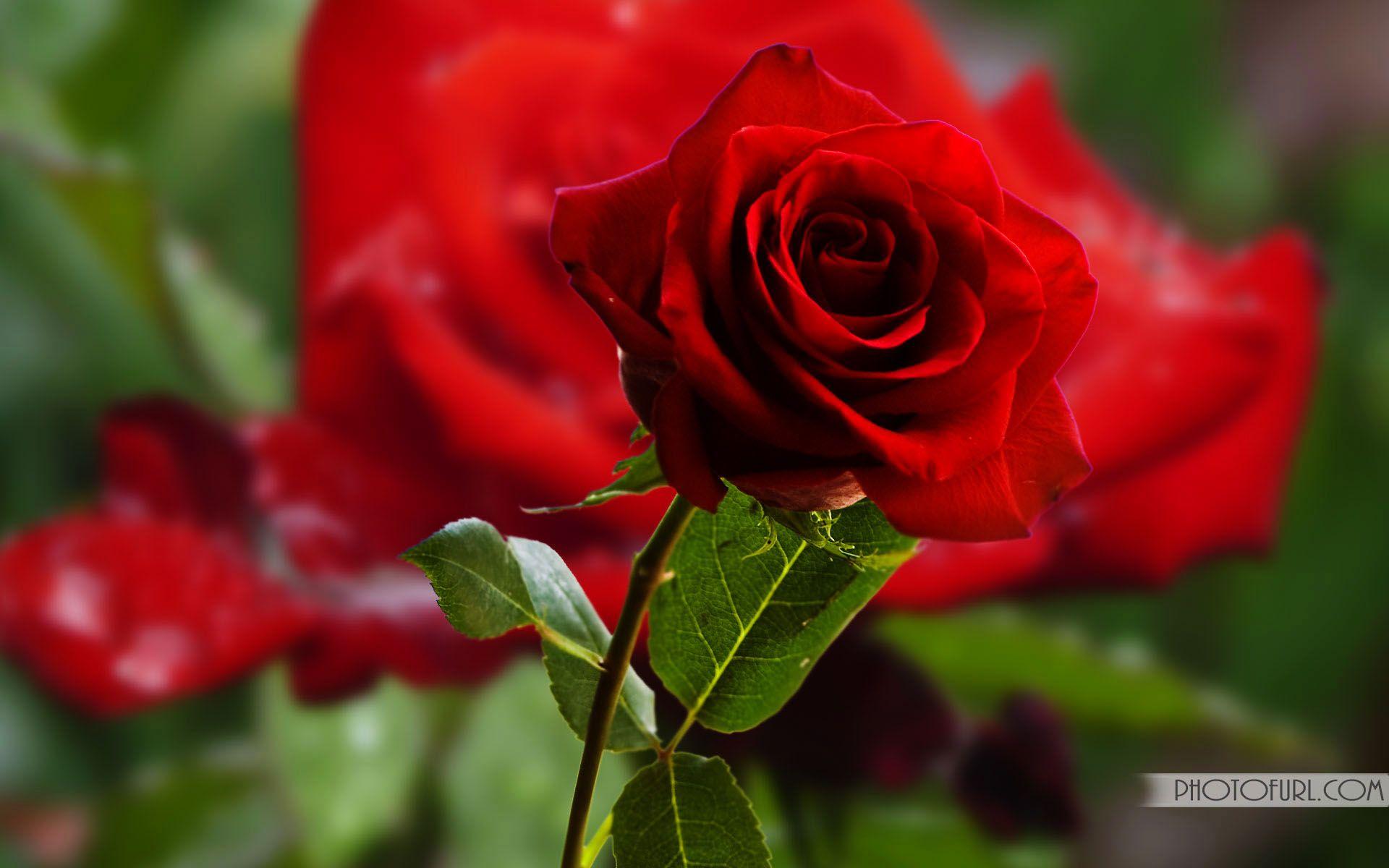 Pin By Sarah Pka On Flowers Pinterest Beautiful Rose Flowers