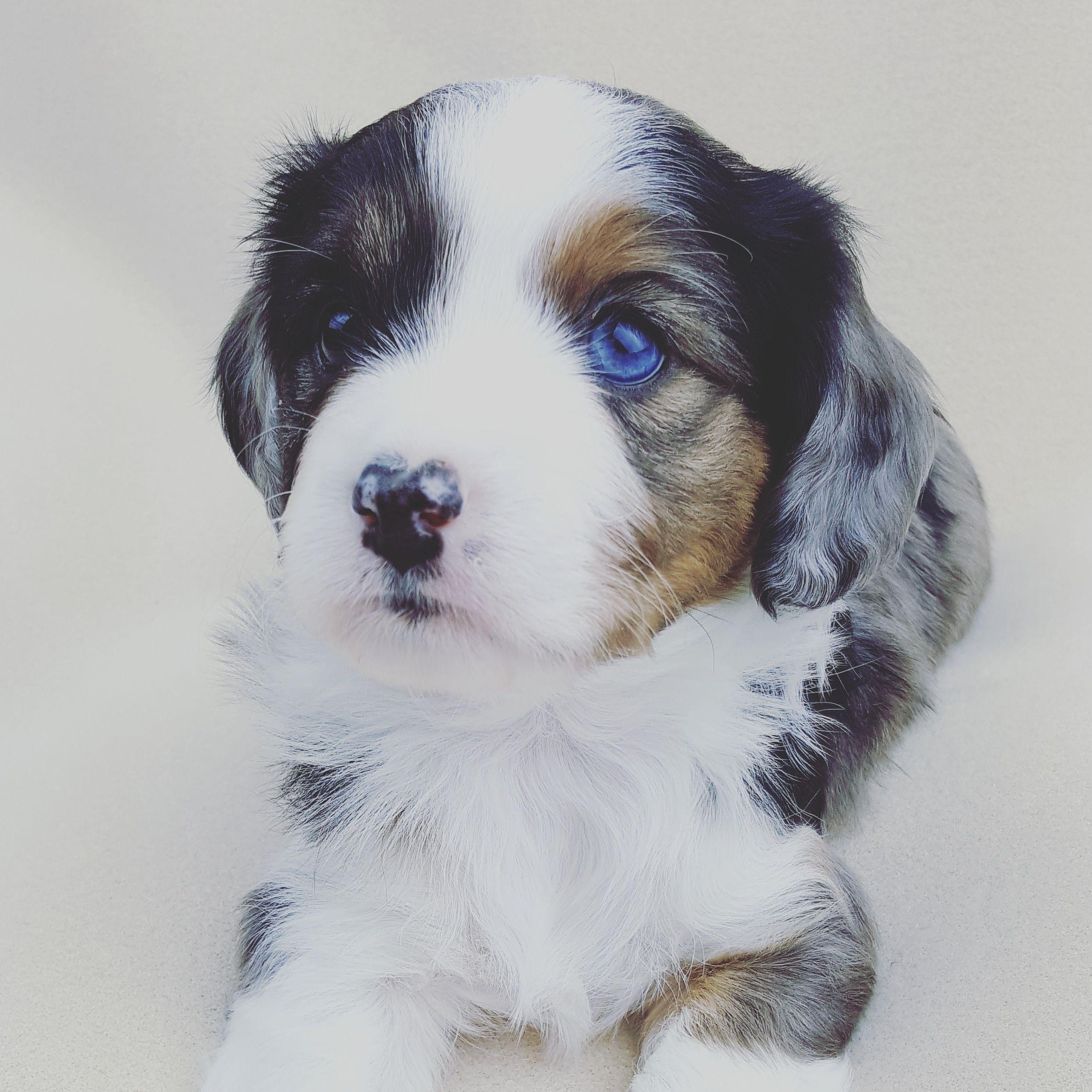 Aussalier puppy Aussie cavalier mix Puppies, Hybrid dogs
