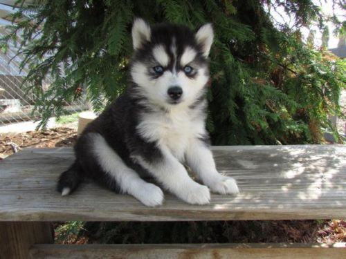 We Have A Brand New Litter Of Beautiful Siberian Husky Puppies