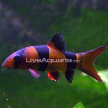 Clown Loach Minimum Tank Size 50 Gallons Care Level Moderate Temperament Peaceful Water Conditions 72 86 F Kh 8 12 Fish For Sale Fish Supplies Fish
