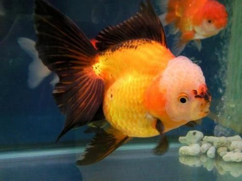 Pretty black and gold oranda goldfish koi pinterest for What fish can live with goldfish in a pond