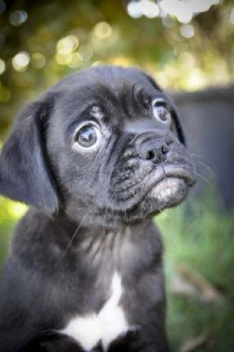 Www Puggle Org Puggle Dog Picture 96570 Susse Tiere Tiere Mops