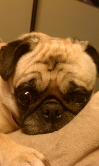 Popeye Waiting To Be Adopted At Mid Atlantic Pug Rescue Pugs